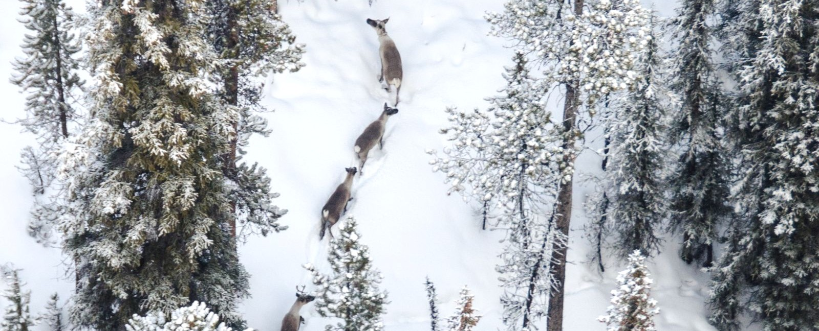 Photo: An aerial view of three caribou walking through snow in a forest