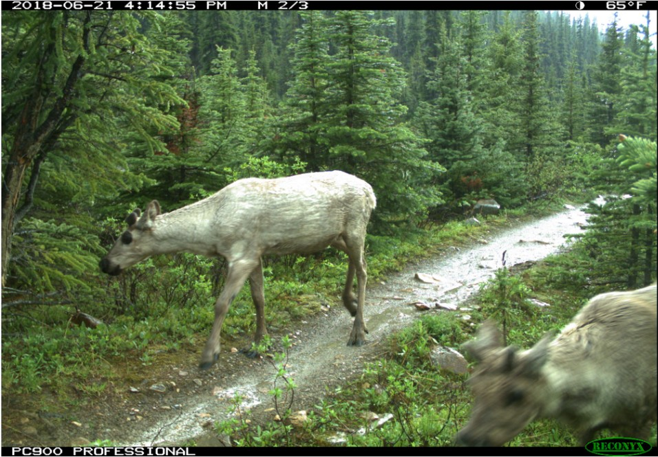 Photo: Two caribou caught on a remote wildlife camera in the rain