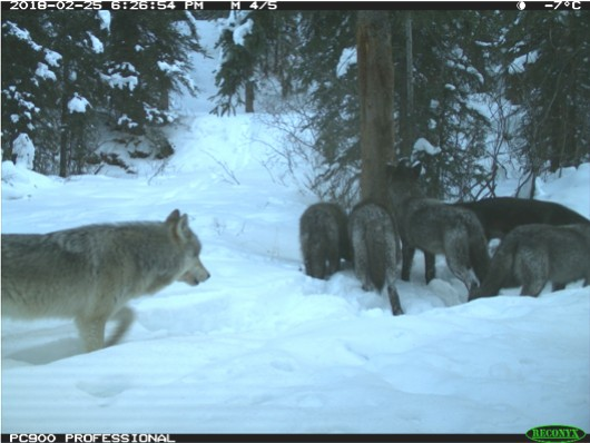Photo: A pack of wolves caught on a remote wildlife camera