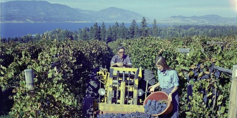 People harvesting grapes in a vineyard