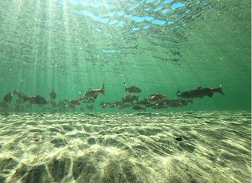 Image of salmon underwater
